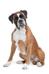 Whorton boxers - Dog Breeders