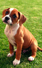 Adorable Boxers - Dog Breeders