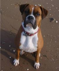 Boxers & Nebolish Of Jaderanch - Dog Breeders