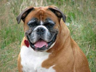 Boxer Stud- Interested In Breeding - Dog Breeders