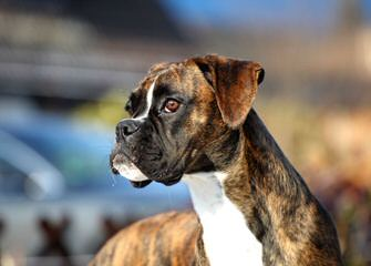Aker's Precious Boxers - Dog Breeders