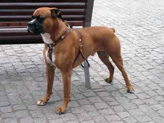 Boxer Puppies - Dog Breeders