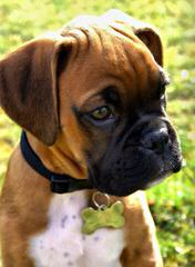 Winn Creek Boxers - Dog Breeders