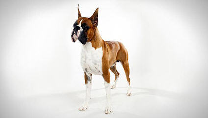 Boxer Puppies - Dog Breeders