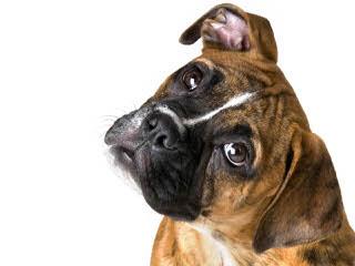 Boxer Stud- Interested In Breeding - Dog Breeders