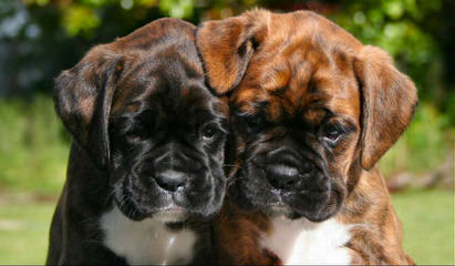 Reverse Brindle Female Boxer - Dog Breeders