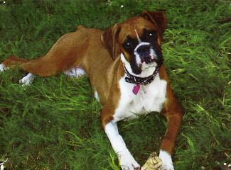Boxer Pups For The Pacific Northwest - Dog Breeders