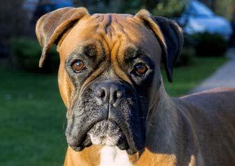 Shikoba Boxers - Dog Breeders
