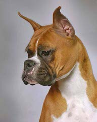 Boxer Pupps For Sale - Dog Breeders