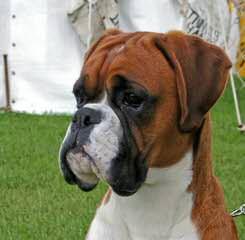 Cimarron European Boxers - Dog Breeders