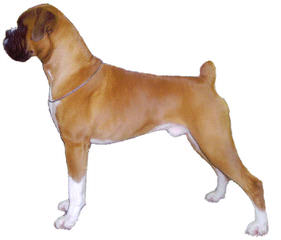 Breezy Boxers - Dog Breeders