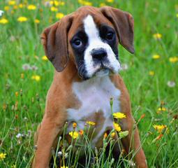 Boxer Puppies. Akc. - Dog Breeders