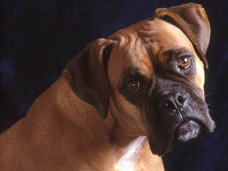 Male Brindle Boxer Stud Only - Dog Breeders