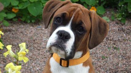 Boxers & Nebolish Of Jaderanch - Dog Breeders
