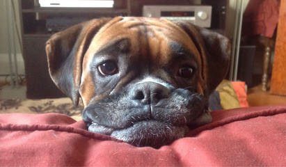 Looking For Female Boxer To Breed My Male With - Dog Breeders