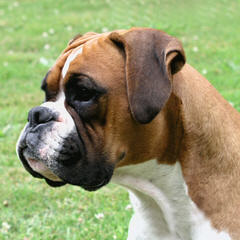 Dillards Beautiful Boxers (Ckc) - Dog Breeders