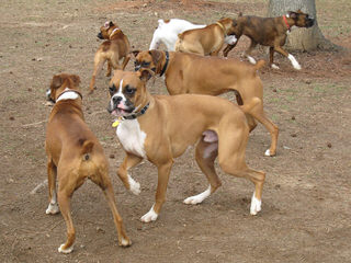 BOXERS OF MERCY - Dog Breeders