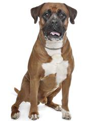 Crazy About Boxers 386 - Dog Breeders