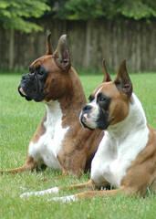Cocalico Boxers – Family Raised With Love! - Dog Breeders