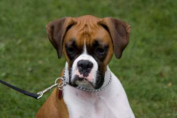 Big Mac Boxers - Dog Breeders