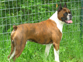 Cedar Creek Boxers - Dog and Puppy Pictures