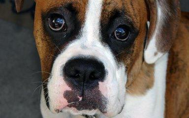 Aker's Precious Boxers - Dog Breeders
