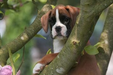 Akc Brindle Boxer For Stud - Dog Breeders