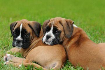 BOXERS OF MERCY - Dog Breeders