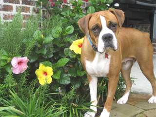 Akc Brindle Boxer For Stud - Dog Breeders