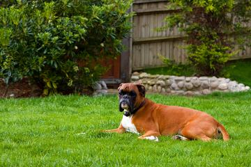 Quality Boxers At Foggy Bottom Ranch - Dog Breeders