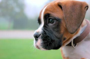 Picture Perfect Boxers - Dog Breeders