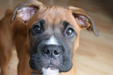 Rippling Spring Puppies, Boxers That Will Warm Your Life - Dog Breeders