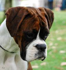 Sand Hill Boxers - Dog Breeders