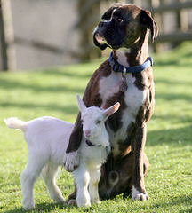 Longislandsweetiesboxers - Dog Breeders