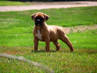 Bear Creek Boxers - Dog Breeders