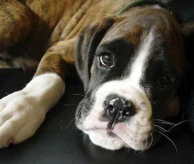 Non Registered Christmas Boxers 200 Dollars - Dog Breeders