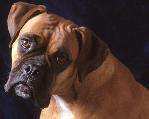 Boxers - Dog Breeders