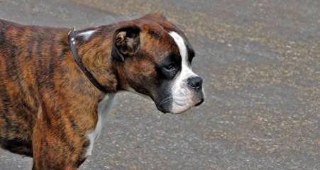 oliveiras renegade boxers - Dog Breeders