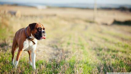 Akc Boxer Puppies - Dog Breeders