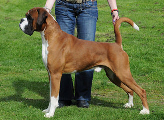 The Contenders Boxers & Boarding Kennels - Dog Breeders