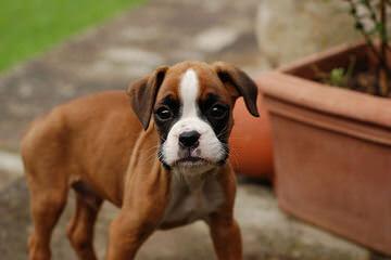 Ohio Valley Boxers - Dog Breeders