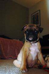 For Sale Beautiful Bugg Puppies - Dog Breeders