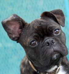 Bugg Puppies And Boston Terrier Puppies - Dog and Puppy Pictures