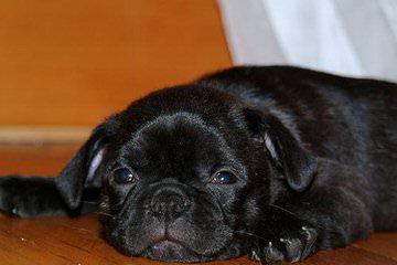 Hug A Bug Puppies - Dog Breeders
