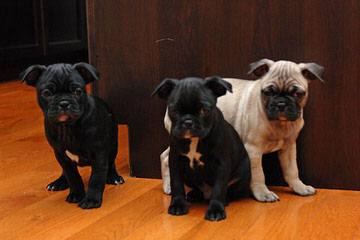 Bugg Puppies In Pa! - Dog and Puppy Pictures