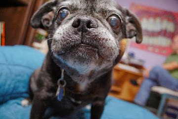 Guardian Angel Dog Rescue - Dog Breeders