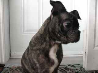 Bugg Puppies For Sale - Dog and Puppy Pictures