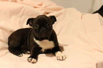 Bugg Puppies For Sale - Dog Breeders