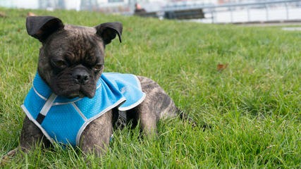 Bugg Puppies In Pa! - Dog Breeders