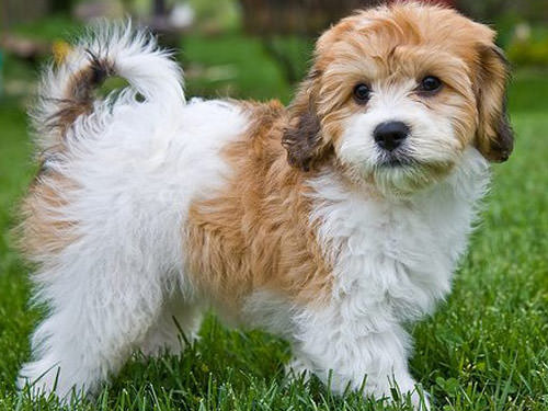 Cavachon Dogs and Puppies